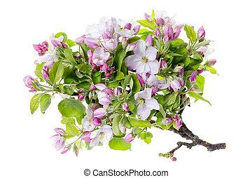 fleurs, arbre, pomme, isolé