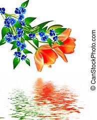 fleurs, arrière-plan., isolé, tulipes, printemps, blanc