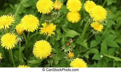 fleurs, arrière-plan vert, jaune, pissenlit