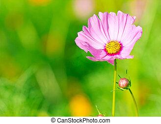 fleurs, arrière-plan vert, pâquerette