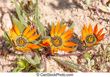 fleurs, asteraceae, famille, indigène