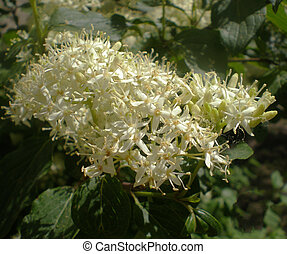 fleurs, aubépine