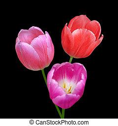 fleurs, beau, fond, tulipes, noir, isolé