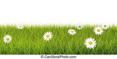 fleurs, blanc, herbe, isolé