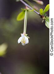 fleurs blanches, arbre