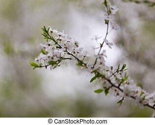 fleurs blanches, arbre, prune