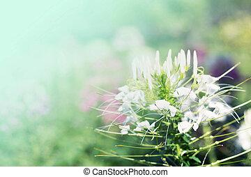 fleurs blanches, bokeh, blured