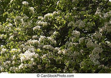 fleurs blanches, fleurir