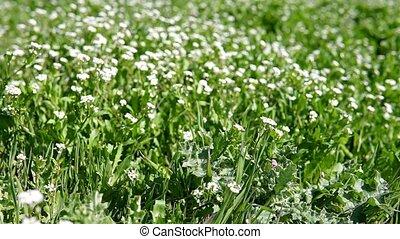fleurs blanches, herbe verte