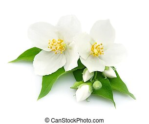 fleurs blanches, jasmin