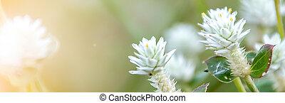 fleurs blanches, naturel, bannière, pré