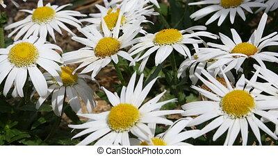 fleurs blanches, pâquerette