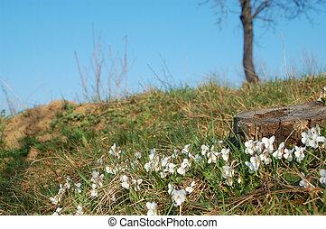 fleurs blanches, pré