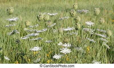 fleurs blanches, pré vert