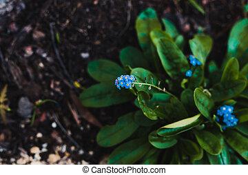 fleurs, bleu, myosotis, plante, gros plan