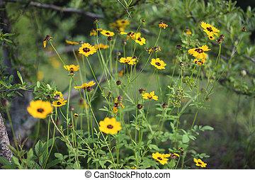 fleurs, bord route, rudbeckie