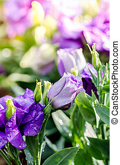 fleurs, bouquet, lisianthus, violet