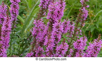 fleurs, bourdon, clair, crybaby, herbe