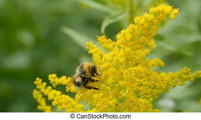 fleurs, bourdon, jaune, goldenrod