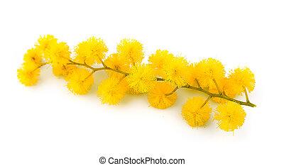 fleurs, brindille, mimosa