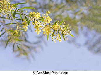 fleurs, brisbane, jaune or, australien, canisse, printemps, acacia, fimbriata