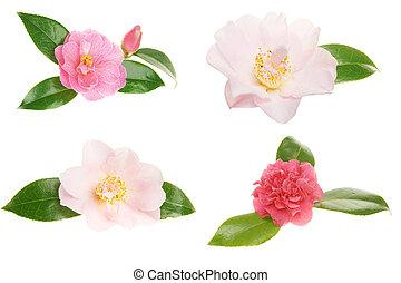 fleurs, camélia, collection