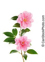 fleurs, camélia, deux, branche