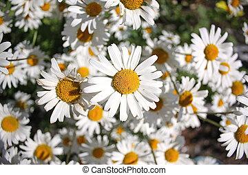 fleurs, camomile, tas
