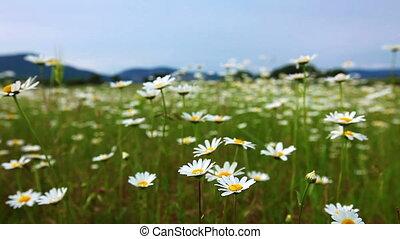 fleurs, camomille