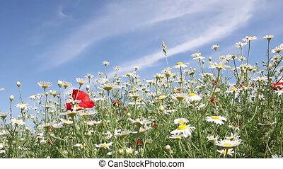 fleurs, camomille, fond, nature