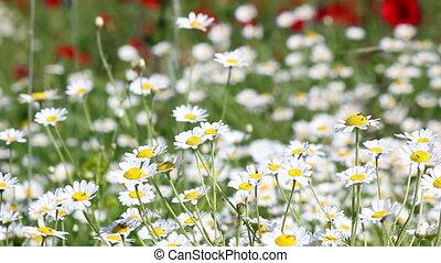 fleurs, camomille, pré