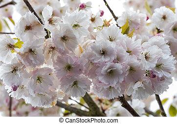 fleurs cerise, dans, fleur pleine