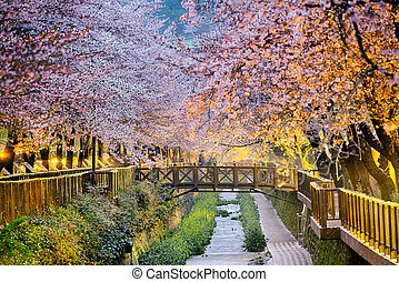 fleurs cerise, sakura