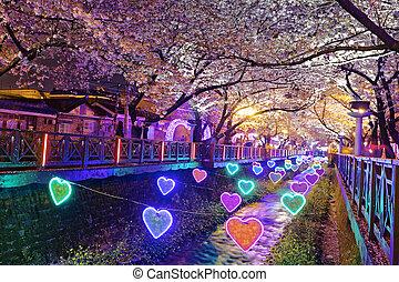 fleurs cerise, soir, busan, ville, dans, corée sud