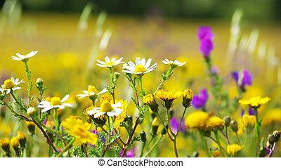fleurs, champ, portugal., sauvage