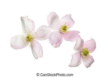 fleurs, clématite