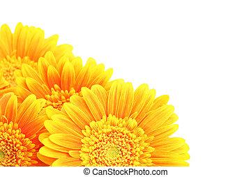 fleurs, coin, isolé