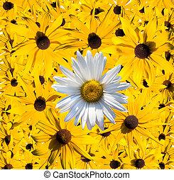 fleurs, collection, pâquerette