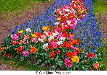 fleurs colorées, chemins, keukenhof, parc, lisse, dans, hollande