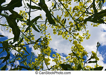 fleurs, colza