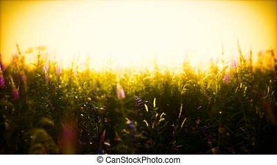 fleurs, coucher soleil, été, champ, sauvage