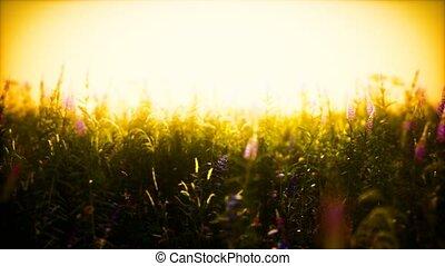 fleurs, coucher soleil, sauvage, été, champ