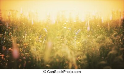 fleurs, coucher soleil, sauvage, champ, été