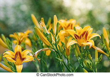 fleurs, daylily, jardin, été, beau, jaune