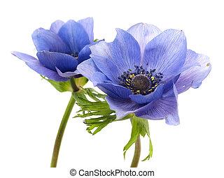 fleurs, de, anémone