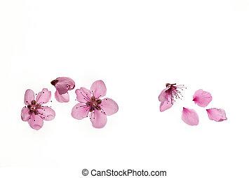 fleurs, espace, fleur, cerise, isolé, au-dessus, copie, arbre