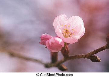 fleurs, fleur, sakura