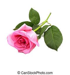 fleurs, fond, isolé, rose rose, blanc