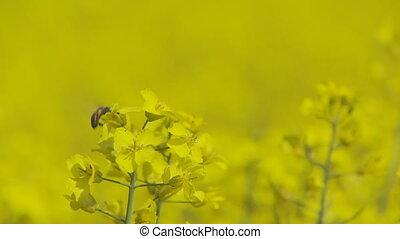 fleurs, foyer sélectif, colza, abeille