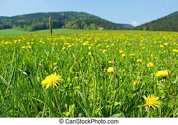 fleurs fraîches, pré, jaune